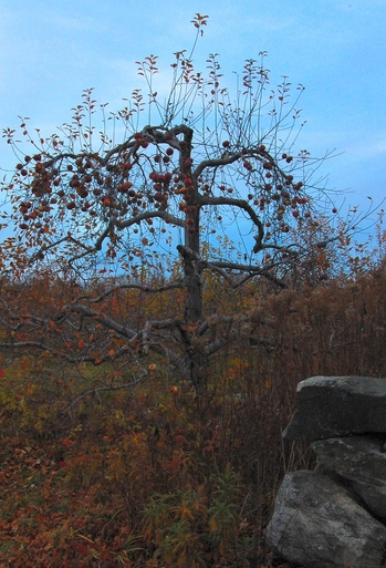 An apple tree at Red Apple Farm